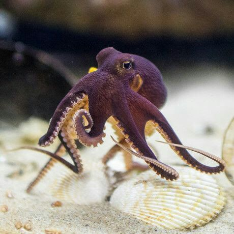 Did you know that octopuses use shells as tools?