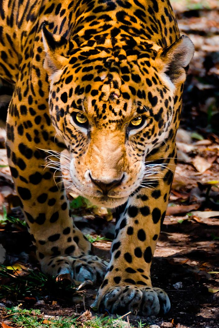 an overview of the feline species jaguar Once they reach the age of three, jaguars become solitary animals,  across a  spotted cat in a rainforest it could be either as both species are.