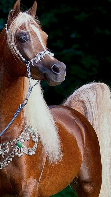 Horses - Arabian Straight Egyptian liver chestnut stallion.
