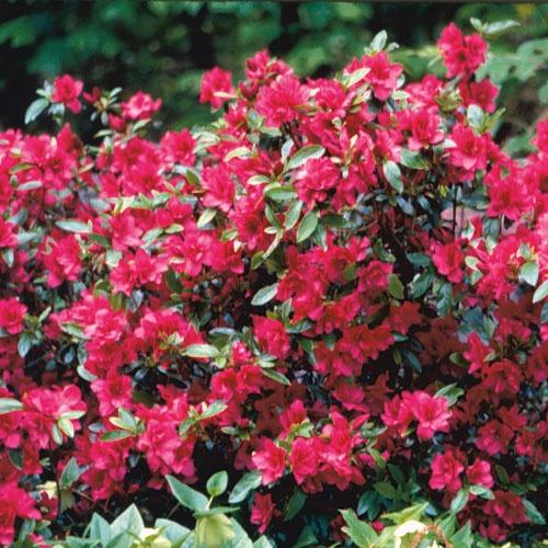 43 best flowering shrubs images on pinterest gardening for Tall flowering shrubs