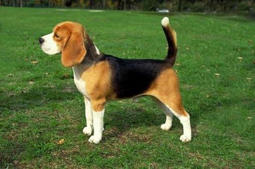 Beagle: O cachorro cantor