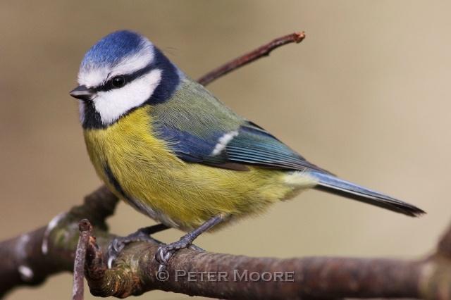Blue Tit (Parus caeruleus), UK, photo by Peter Moore
