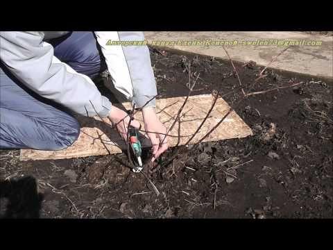 Посадка и уход за гортензией метельчатой ванилла фрейз: описание, правила посадки и уход