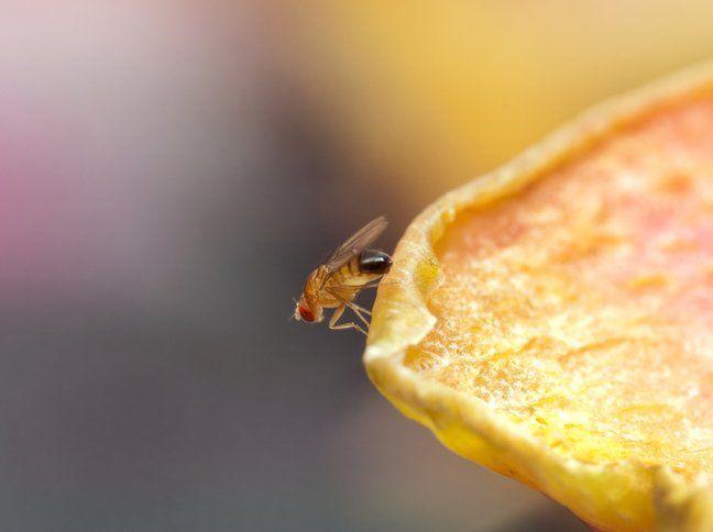 Welche Hausmittel Helfen Gegen Fruchtfliegen Schoonmaken