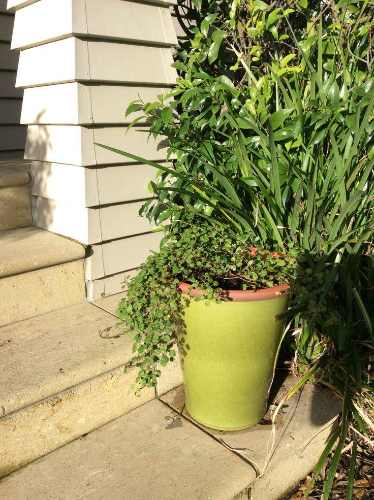 Fuschia procumbens Morris and James French flower pot