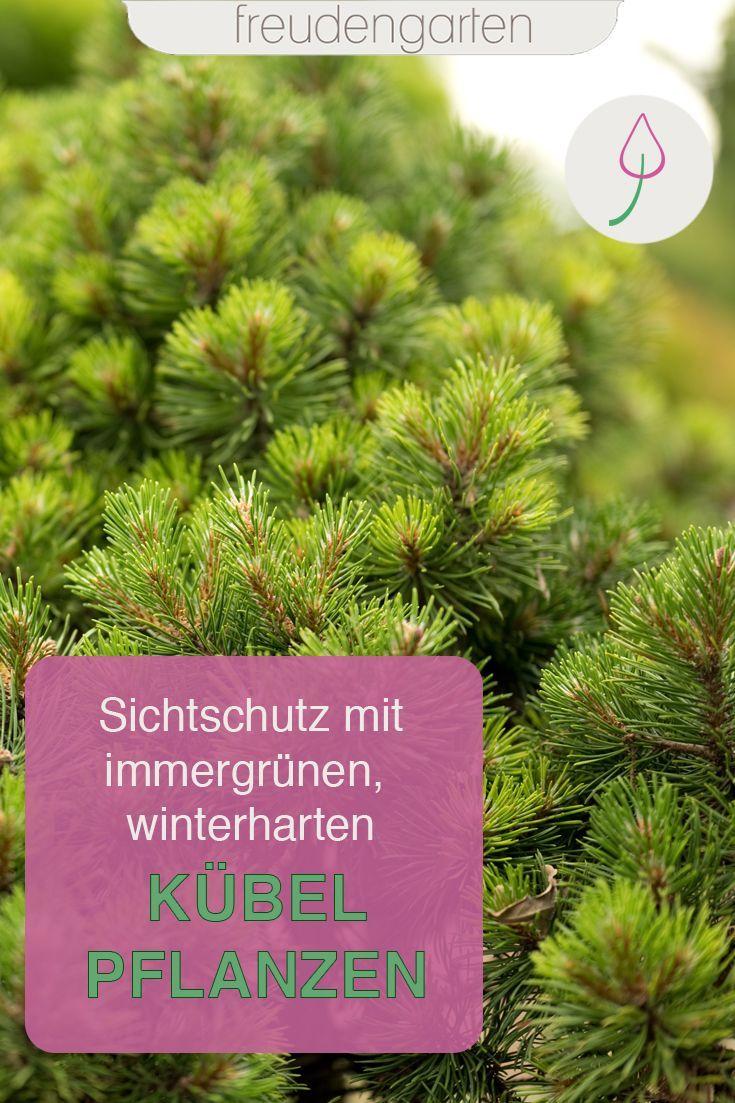 Immergrune Kubelpflanzen In 2020 Pflanzen Kubelpflanzen Bepflanzung