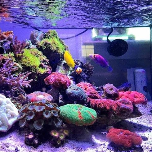 #Polyplab #Reefpro @aquaman_shalom's reef feeling the heat. How is everybody keeping their tank cool this summer? . Just go: www.polyplab.com . . #coral #reeftank #coralreeftank #reef #reefpack #reef2reef #reefcandy #reefersdaily #reefrEVOLution #coralreef #coraladdict #reefaholiks #reefjunkie #reeflife #instareef #allmymoneygoestocoral #instareef #reefpackworldwide #ilovemyreef #rarecorals #reefing #exoticcorals #reefporn #reeferdise #reefers4reefers #coralporn #aquarium #polyplab
