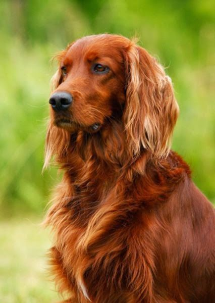 Irish Setter is a long haired dog breed.Irish Setters are