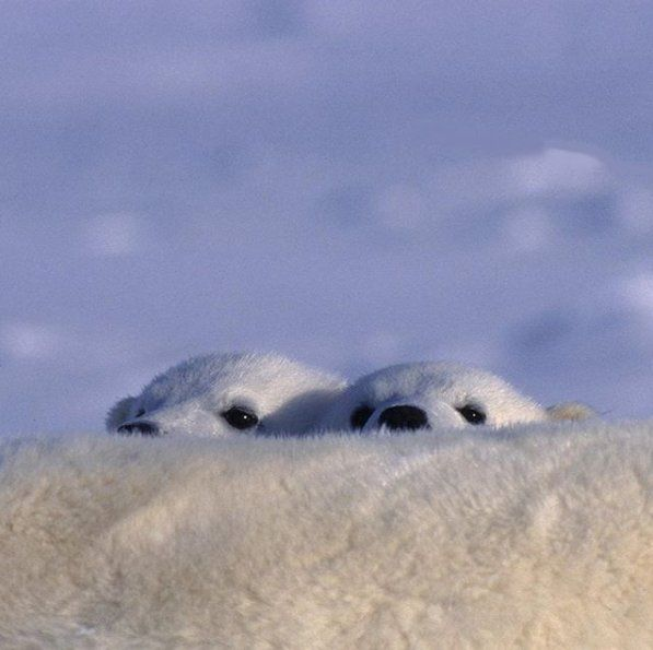 spy with my little eye...two little polar bear cubs hiding behind mum   @paulnicklen in Eureka, Nunavut