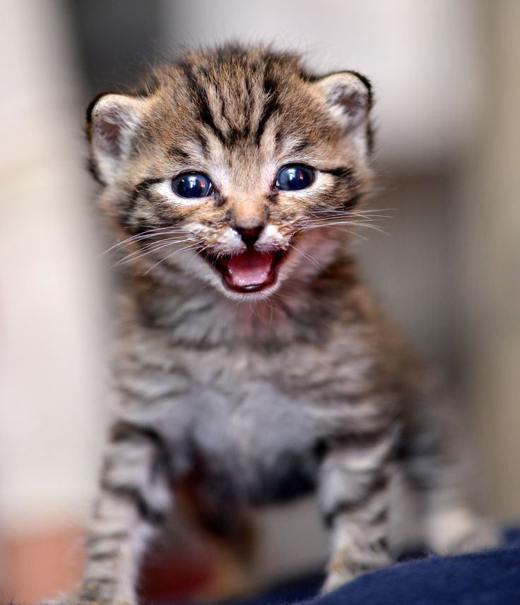 Got Milk? - This little tabby kitten had just finished lunch; probably not the best time for a photo shoot :D