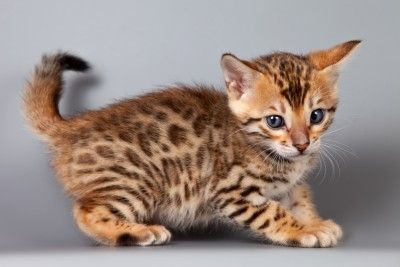 Bengal Kittens For Sale In FL | Destiny Bengals