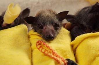 tudo sobre morcegos - Norton Safe Search