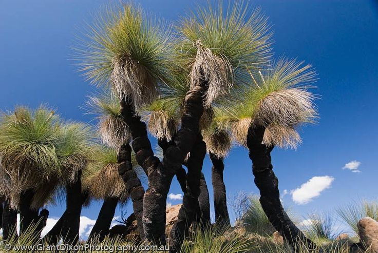 NSW, Coonabarabran, Warrumbungle National Park. Grasstrees on summit of Mt…