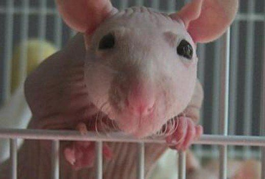Hairless rats make wonderful pets, but they do require a little more care than their furry counterparts and can suffer from a higher incidence of certain health problems.