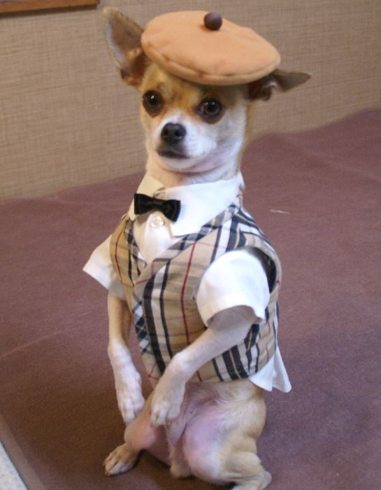 Dapper chihuahua- Montjiro, a dog fashion model. He models hand made clothing by his Japanese owner, Mon't.