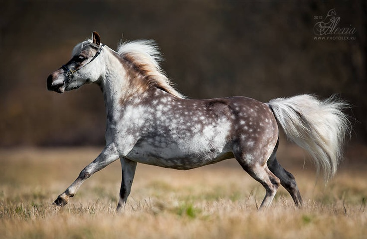 «MINI-PONY.RU» - Мини лошади и уэльские пони в России!!