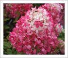 Hydrangea paniculata 'Diamant Rouge (Red Diamond)' | Lambley Nursery summer autumn 120 x 80