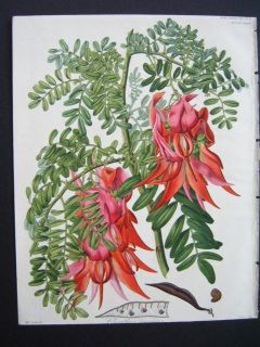 New Zealand Kakabeak. Clianthus. Hand colored engraving . Drake. ca 1840.   280 x 220mm