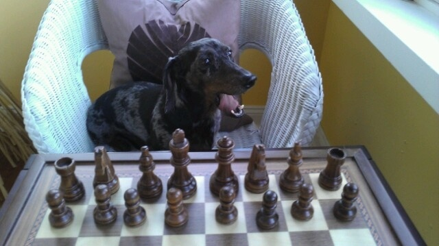 Seriously, don't you get tired of getting beaten by a dachshund?