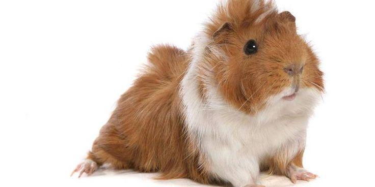 guinea pig https://www.facebook.com/katiaelano/posts/2049267865337457