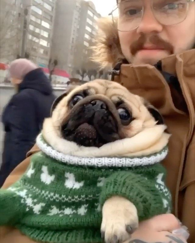 The Stylish Pug On Instagram Hey You Go Get Me Treats Quick