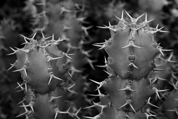 Quando pica, pica mesmo. Fotos de cactos e coisas assim...  Sobre plantas com espinhos, sobretudo cactos. Apontamentos em macrofotografia com câmara digital e lente adequada a captar pormenores e fotos close-up