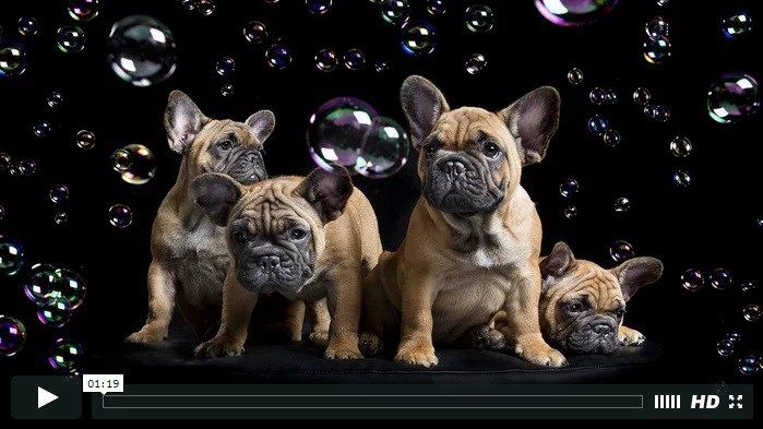 An Afternoon with Frenchies - Animal Art Photography (video)