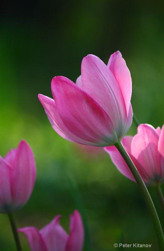 Tulip- declaration of love