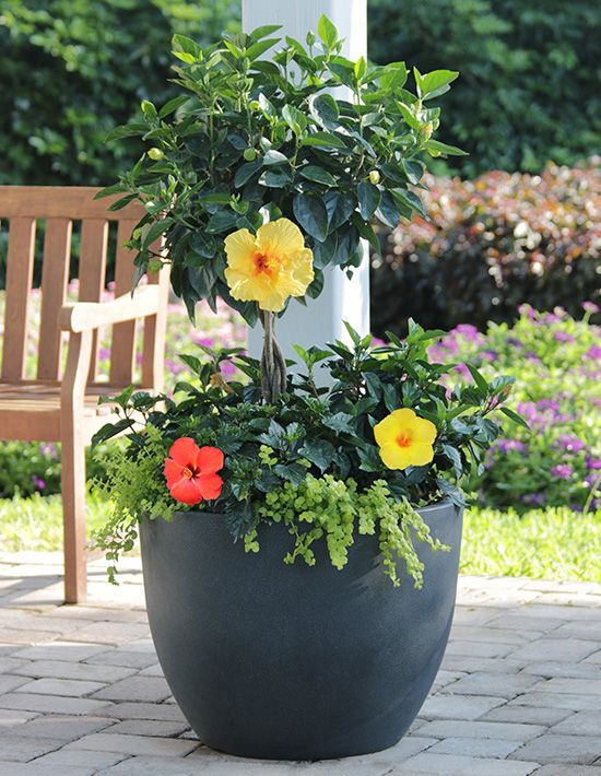 You can't go wrong with colorful hibiscus for bold summer containers. Mix bush-types with hibiscus trees for a crisp layered look!