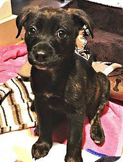 Boulder, CO - Labrador Retriever/Boxer Mix. Meet Lilly, a puppy for adoption. http://www.adoptapet.com/pet/17712891-boulder-colorado-labrador-retriever-mix