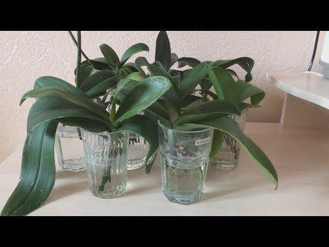 Реанимация орхидей в воде без просушки. Наращивание корней и новых листьев. Ошибки, и успехи. - YouTube