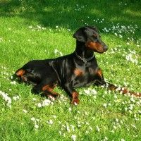 #dogalize Dog Breeds: Doberman Pinscher temperament #dogs #cats #pets