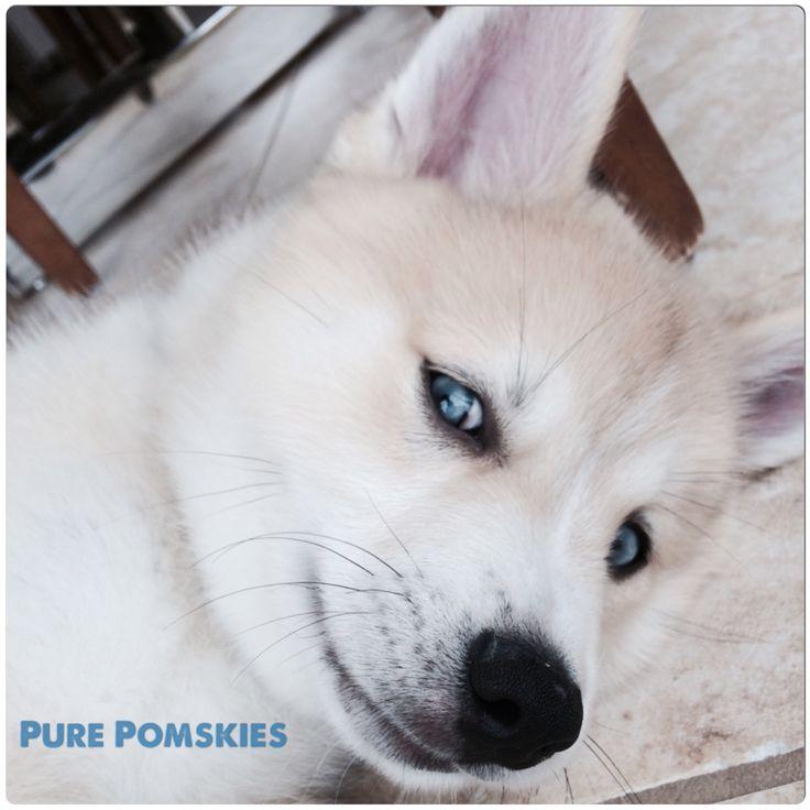 Blue eyed pomsky puppy