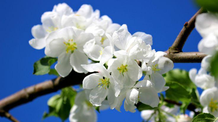 Omenapuun kukkia <3