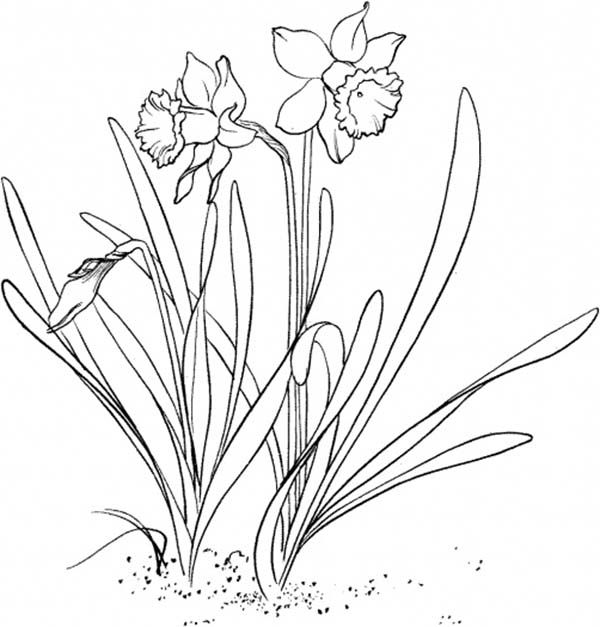 Daffodil Daffodil Flower Garden Coloring Page Flower Drawing