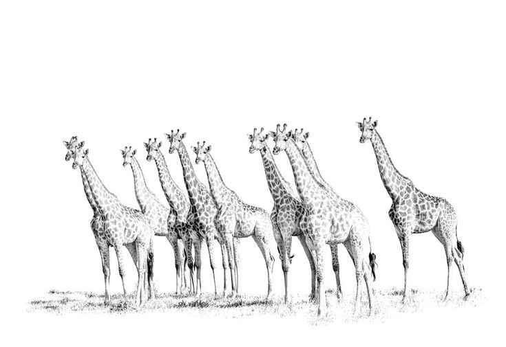BW fine art african wildlife print of a group of giraffe watching lions