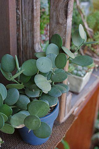 Xerosicyos danguyi, - have not seen this flat leaf succulent before.
