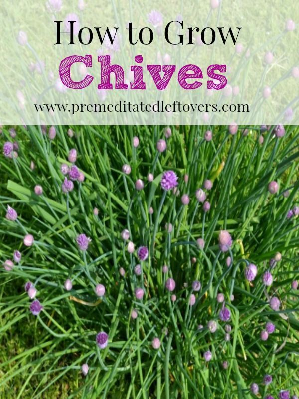 How to Grow Chives, including how to plant your chive seedlings, http://premeditatedleftovers.com/gardening/how-to-grow-chives/