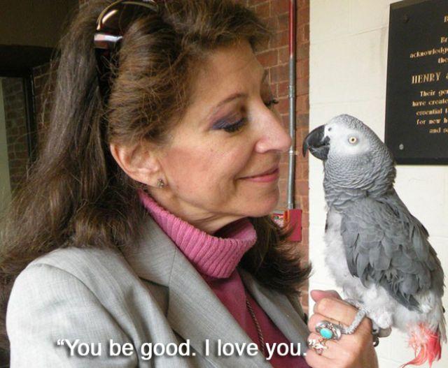 """Alex o papagaio cinza Africano era capaz de contar e identificar as cores, e ele tinha uma bela relação com essa mulher da foto, Irene Pepperberg. Quando Alex morreu em 2007, suas últimas palavras para ela foram """"Você é boa. Eu te amo."""""""