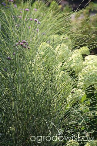 Trawiasto-hortensjowe ranczo ze stawem - strona 159 - Forum ogrodnicze - Ogrodowisko