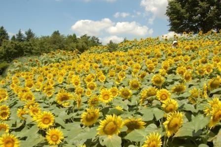 《関東圏》夏の思い出に♪ひまわり畑を楽しめる人気スポット4選