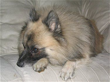 As German Spitz breeders in the USA (with both the Klein as well as the Mittel varieties as recognized by the UKC) we appear forward to advertising this lovely breed with good quality stock to help it turn into far more recognized and established right here in the United states of america.