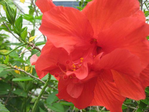 De hibiscus olie is online te koop, maar je kan het ook zelf maken. Hoewel er vele variëteiten van hibiscus bloemen zijn, kies ik voor de rode bloemen.