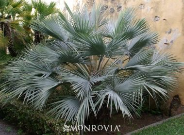 1000 images about plants of jamaica palms on pinterest for The home mag houston