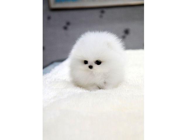Mini Teacup Pomeranian Puppies For Adoption Animals Walpole New Hampshire Announcement 6025 Baby Animals Funny Baby Animals Pictures Cute Funny Animals