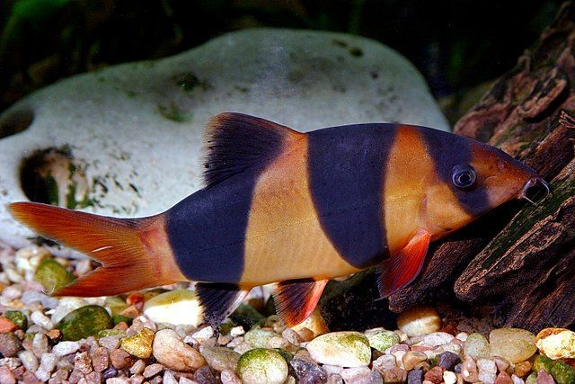 Clown Loach Large Freshwater Fish Picture Home Aquarium Nature Aquariumfreshwaterfishpictures Aquarium Fish Freshwater Aquarium Fish Clown Loach