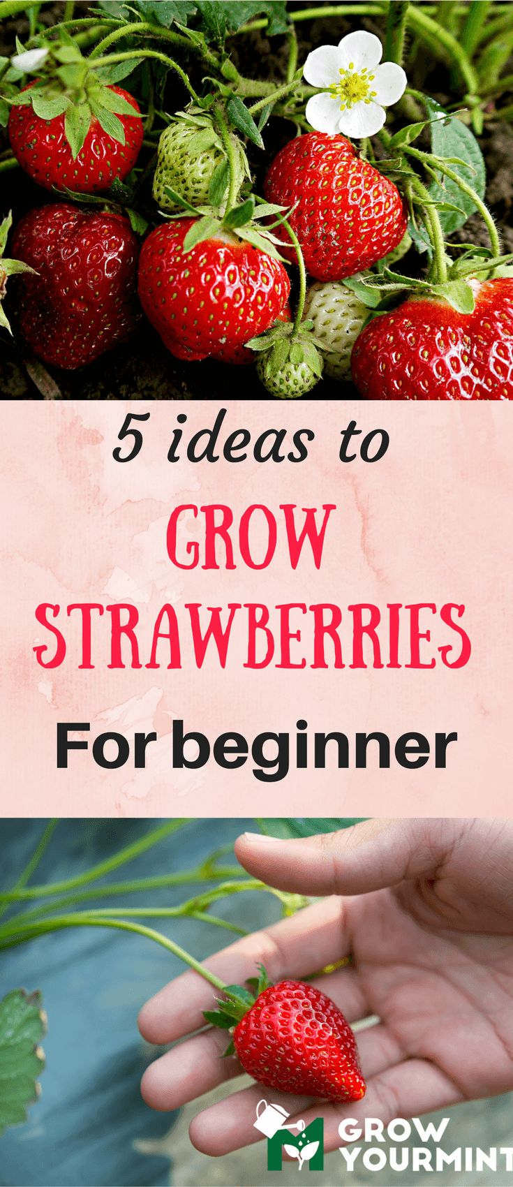 5 ideas to grow strawberries for beginners