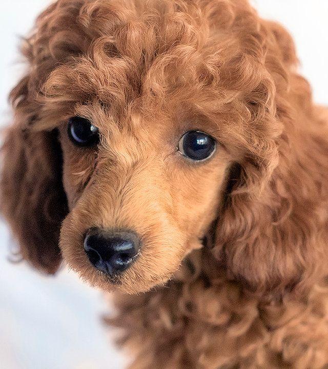 red miniature poodles, miniature red poodles Tucson AZ,