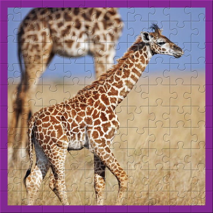 WWF 100 Piece Giraffes Puzzle has large pieces, great for little puzzle hands! The thick, quality interlocking puzzle pieces feature an adorable photo of a Giraffe family from the Award-winning WWF photography portfolio.  The Puzzle is made from thick FSC grey board are 20% thicker than other puzzles. They are made with FSC art paper printed with soy inks & packaging from recycled post-consumer waste carton with soy inks. Consumers can support WWF by  buying toys they love!