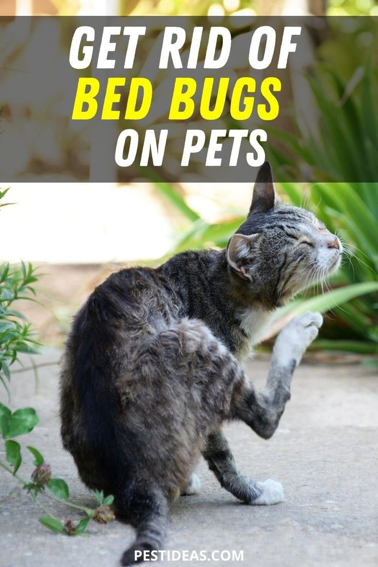 Get Rid of Bed Bugs on Pets in 2020 Bed bugs, Rid of bed
